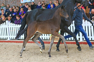 Registration for the 11th Lemwerder Foal Championship
