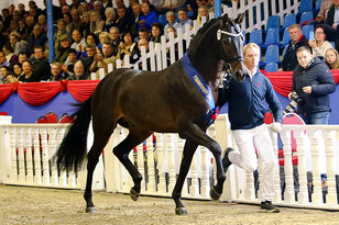 For Austria und Moreno approved for the Hanoverian Verband