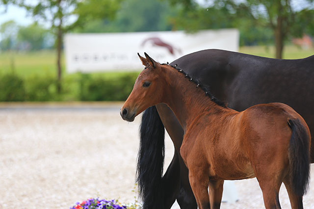 ... de» INTERNATIONAL NEWS » Oldenburger Foal Shows live at ClipMyHorse